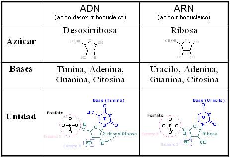 Cuadro comparativo entre ADN y ARN