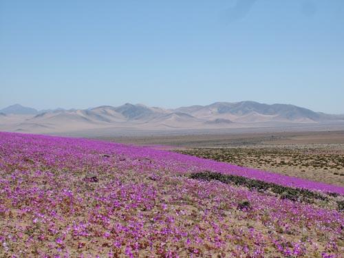 Música e imágenes de mi tierra :) Desierto_florido_53676_t0