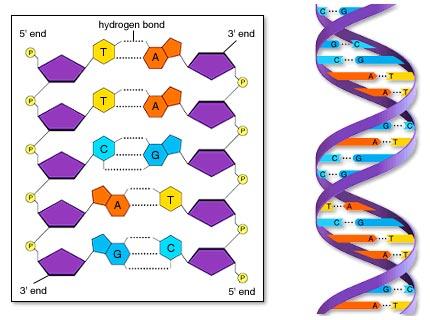Mol�cula de ADN