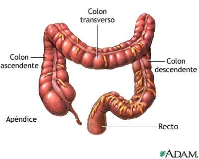 Partes del intestino grueso.
